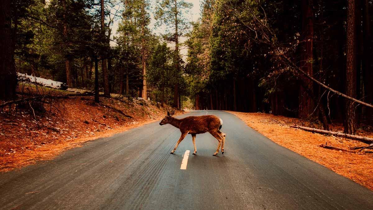 ciervo carretera