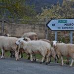 Valle del Iregua en un Audi A5 cabrio. Almarza de Cameros. Rebaño de ovejas